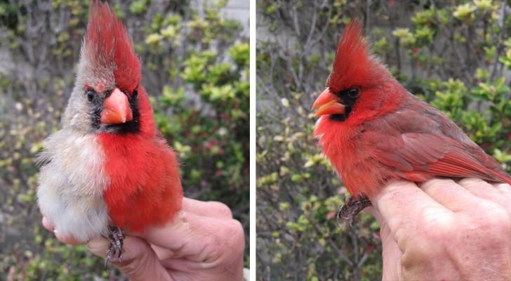 Questo uccello è metà maschio e metà femmina: una rara condizione genetica che gli fa avere un aspetto stravagante