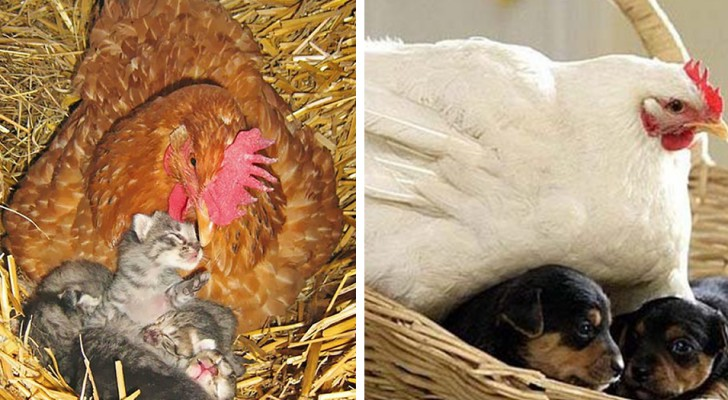 16 foto mostrano l'incredibile istinto materno delle galline, pronte a prendersi cura di qualsiasi animale