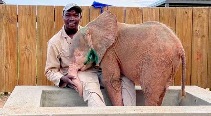 Un elefante albino es salvado por voluntarios luego de vagar durante días solo con una trampa debajo de su pierna