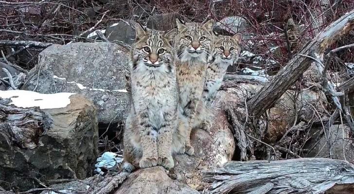 Un homme parvient à immortaliser trois lynx dans des photos mémorables : ils semblent s'être mis en pose