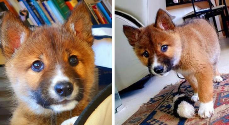 Credono di aver trovato un cucciolo di cane, ma poi scoprono che è un raro esemplare a rischio estinzione