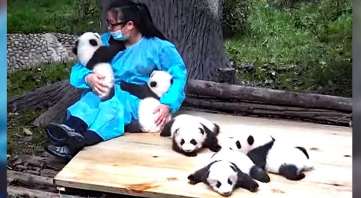 Questa donna fa la panda-sitter: viene pagata 32.000 dollari per accudire gli orsetti 365 giorni l'anno