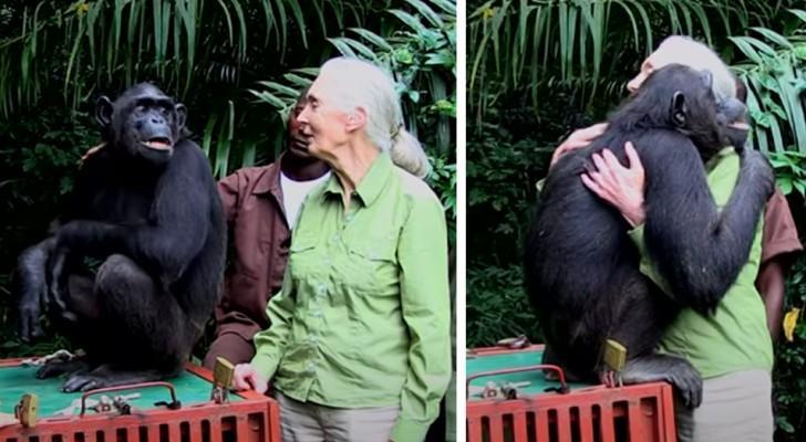 O chimpanzé abraça a mulher que salvou a sua vida: um agradecimento especial e emocionante