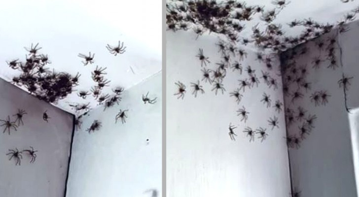 Een moeder komt de kamer van haar dochter binnen en ontdekt tientallen spinnen die ongestoord over de muren lopen