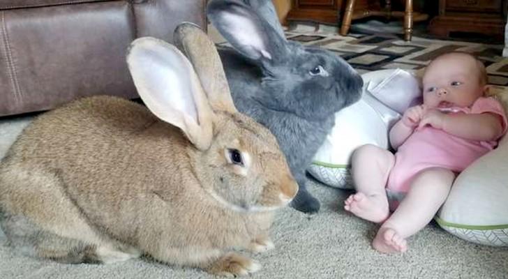 Deux lapins prennent soin de la nouvelle venue à la maison : ils ne la laissent jamais seule, pas même une seconde