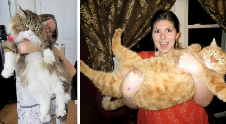 Giant cats: 16 bulky felines who do not realize just how big they are