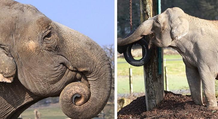 Da 20 anni questa elefantessa non vede un suo simile: