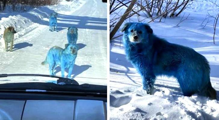 Aperçue en Russie une meute de chiens à fourrure bleue :