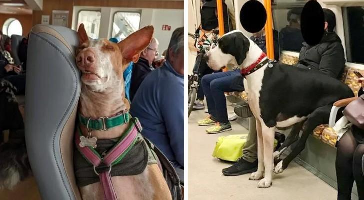 16 photos d'animaux dans les transports publics qui semblent beaucoup mieux élevés que beaucoup d'humains