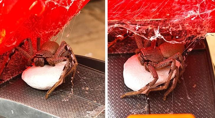 Une femme trouve une énorme araignée chasseuse dans le camion-jouet de son fils : elle protégeait 200 petits