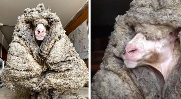 Salvano una pecora intrappolata in 30 kg di lana: ora riesce finalmente a vedere e a camminare