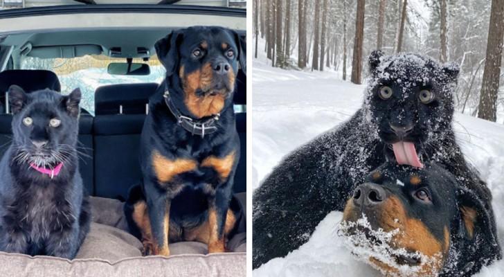 Een door zijn moeder in de steek gelaten panter groeit op met een Rottweiler: ze zijn onafscheidelijk