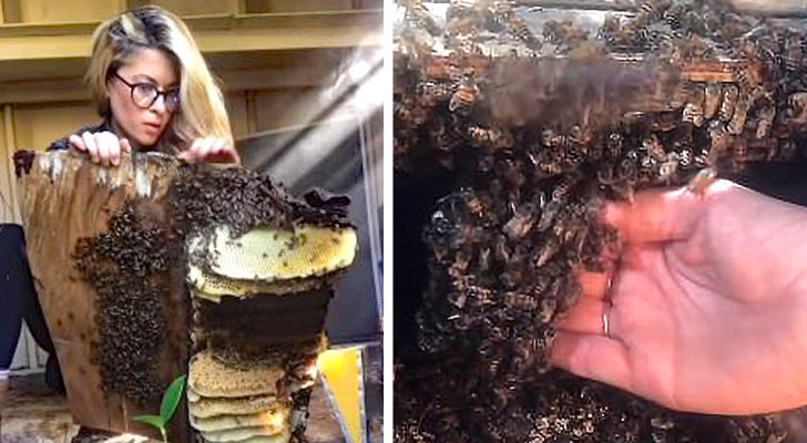 Ze verplaats een hele bijenkorf met haar blote handen: de fascinerende video van de vrouw die tegen bijen fluistert