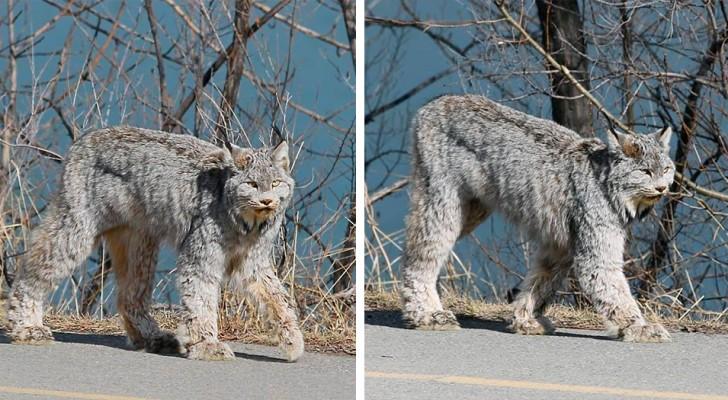 Een vrouw vereeuwigt de nauwe en onverwachte ontmoeting met een majestueuze lynx