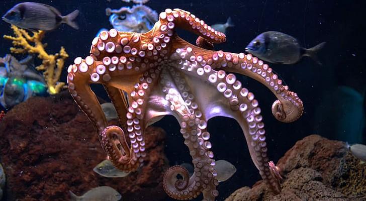 """Octopussen ervaren zowel fysieke pijn als emotioneel lijden: een studie onthult hun """"gevoelens"""""""