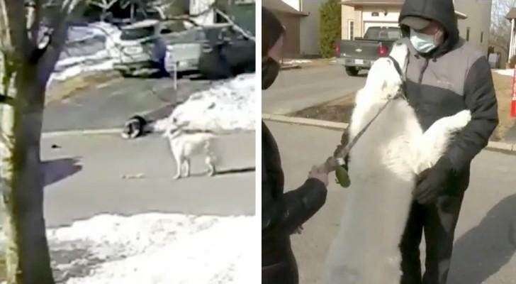Un chien interrompt la circulation dans la rue pour demander de l'aide aux passants : la maîtresse s'était soudainement écroulée