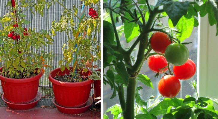 Come coltivare in casa gustosi pomodori ed avere sempre la tua scorta personale