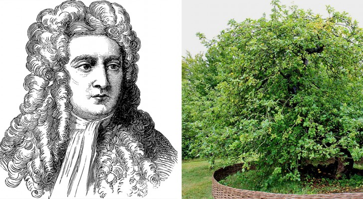 L'albero di mele grazie al quale Newton scoprì la forza di gravità esiste ancora ed ha più di 400 anni