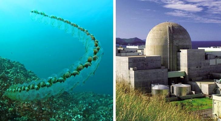Centinaia di creature marine si uniscono in lunghe catene e bloccano i reattori di una centrale nucleare