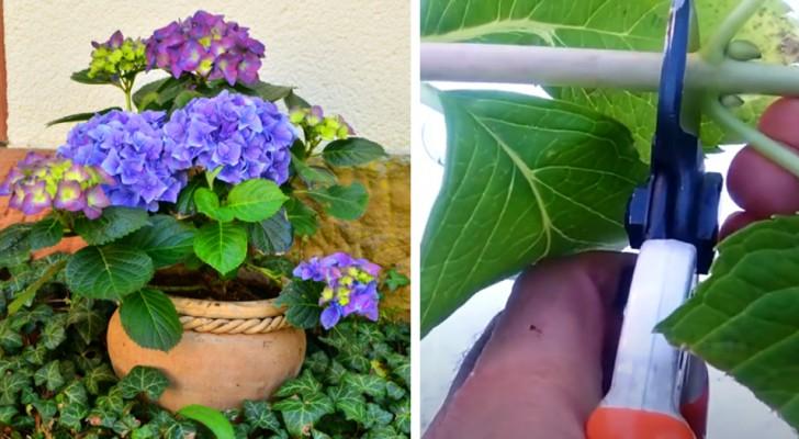 De hortensia, een plant met spectaculaire kleuren: hoe ze in potten te kweken en ze in een paar simpele stappen te vermeerderen