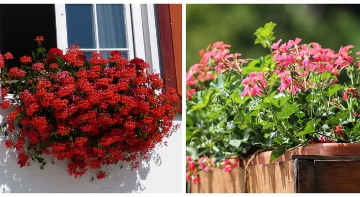 Géraniums super luxuriants ? Quelques astuces utiles pour cultiver de belles fleurs