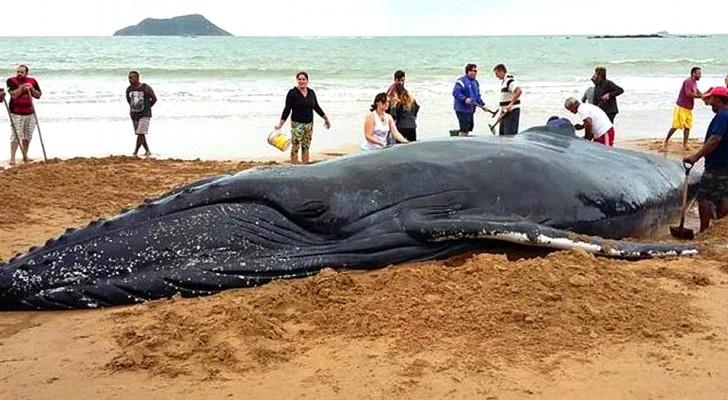 Des centaines de personnes sauvent un bébé baleine à bosse d'une mort certaine : la vidéo est émouvante