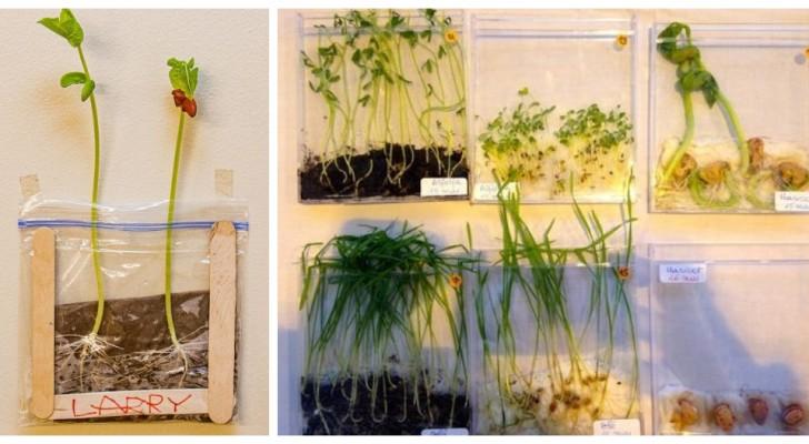 Fagioli che germogliano in bustine di plastica: l'esperimento facile e divertente per i bambini