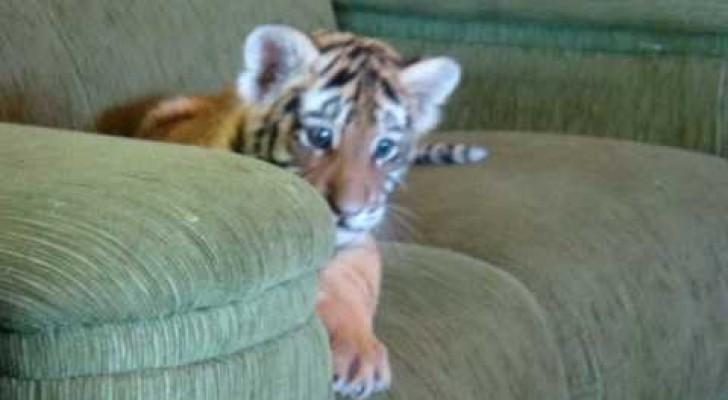 Tiger spielt mit Chihuahua