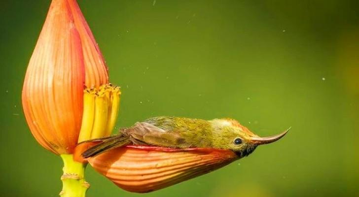 Questo piccolo uccello fa il bagno nel petalo di un fiore: la tenera scena catturata dal fotografo