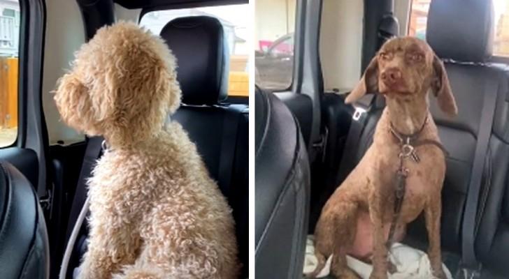 Ze gaat naar de trimmer om de honden op te halen, maar als ze hen ziet, denkt ze dat het de verkeerde zijn