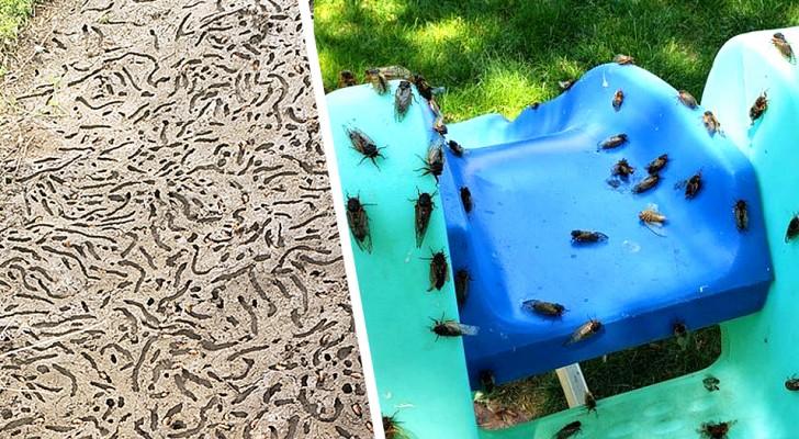 VS: miljarden cicaden komen na 17 jaar uit de grond, het spektakel is indrukwekkend.