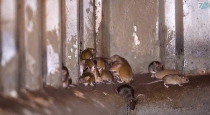 Australien wird von Zehntausenden von Mäusen überrannt: eine noch nie dagewesene biblische Plage