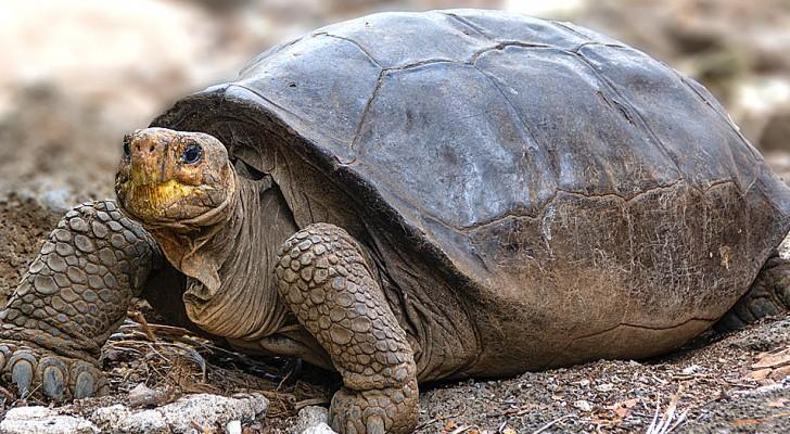 Una tartaruga gigante che si credeva estinta da oltre 100 anni è viva: i ricercatori confermano