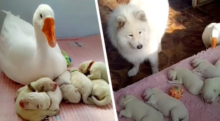 Een hond die net is bevallen krijgt hulp van een gans om voor haar puppy's te zorgen