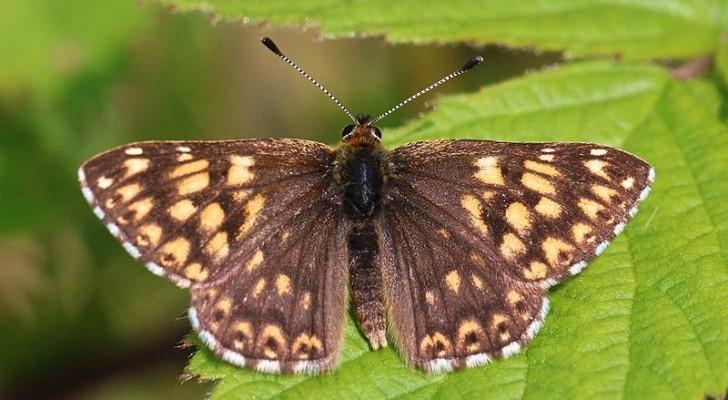 Un gruppo di agricoltori salva questa bellissima specie di farfalla dall'estinzione