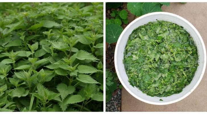 Scopri come preparare un facilissimo tè di ortica per far crescere rigogliose le tue piante