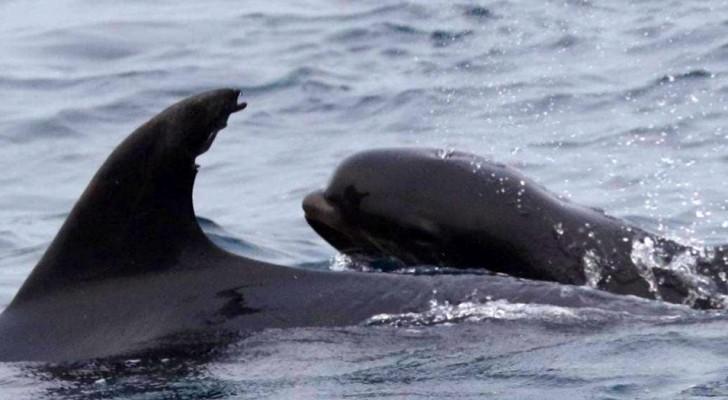 Delfinmutter adoptiert ein Walbaby und zeigt damit, dass es im Tierreich keine Unterschiede gibt