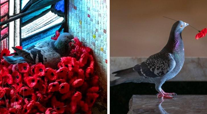 Een duif steelt klaprozen uit het graf van een onbekende soldaat om een nest te bouwen: een poëtische afbeelding