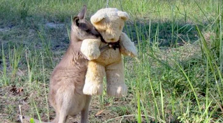 Ett föräldralöst kängurudjur kramar om sin gosedjursbjörn för att känna sig mindre ensam