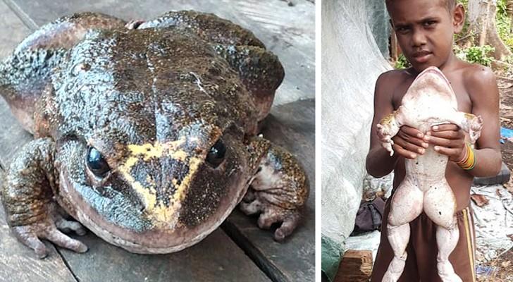 Een man vond deze gigantische kikker: hij is bijna zo groot als een kind