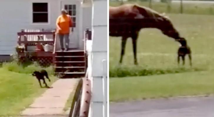Cachorro foge de casa com uma cenoura na boca e dá para seu amigo cavalo fazer um lanche