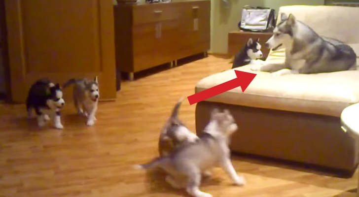 Look at  this mom having fun with her cute puppies. Their reaction? Adorable !