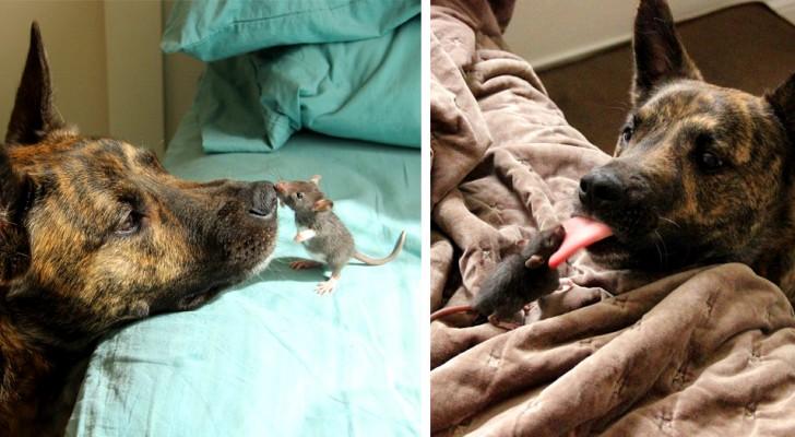 Die außergewöhnliche Freundschaft zwischen einem Hund und einer Hausmaus: zwei unzertrennliche Kleine