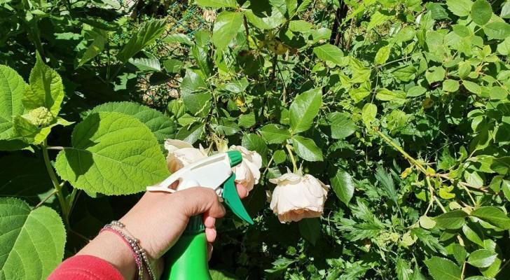 Bikarbonat im Garten: ja oder nein? Finden Sie heraus ...