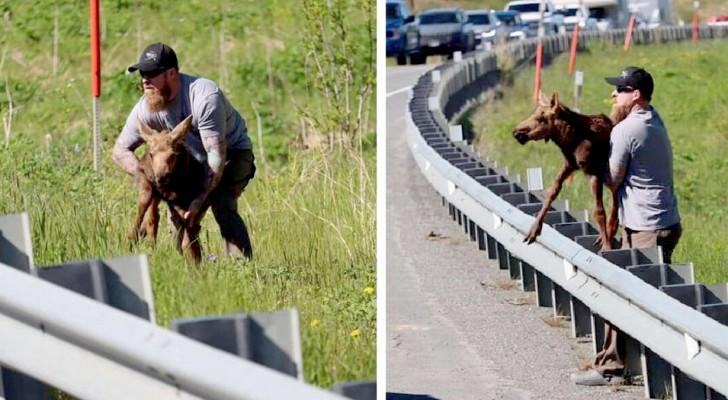 Aiuta un cucciolo di alce in difficoltà a superare il guardrail e a riunirsi con la mamma: Ne è valsa la pena