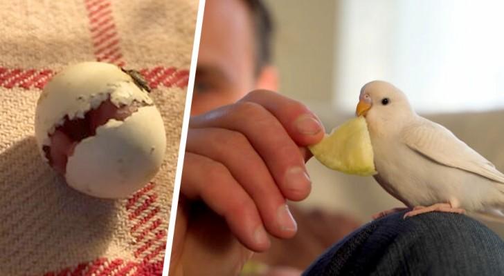 Ele encontra um ovo de periquito abandonado e o choca em casa: agora eles se tornaram inseparáveis