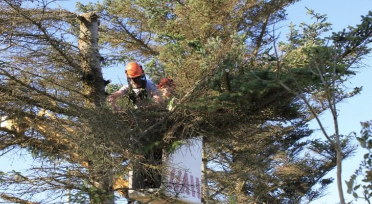 Ze laten de boom van de buurman doormidden zagen omdat het hun ruimte binnendringt: hij stond er al meer dan 25 jaar
