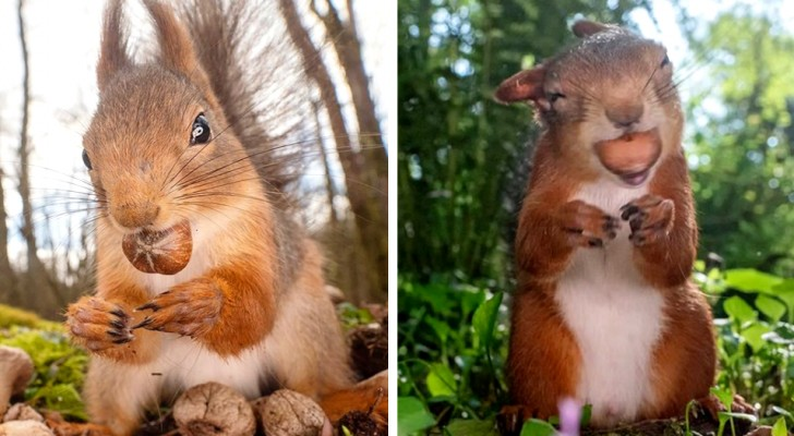 Un fotografo naturalista cattura gli scoiattoli rossi nelle loro piccole e intime avventure quotidiane