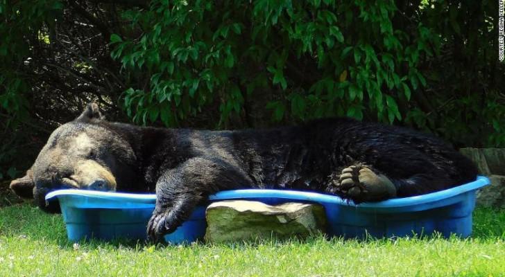 Cet ours s'est faufilé dans une cour et a profité de la piscine pour faire une sieste estivale