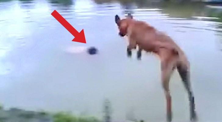 Il voit son maître plonger dans l'eau: sa réaction de ce chien vous fera sourire
